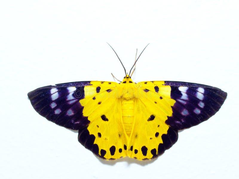 Polilla amarilla, negra, y blanca, una clase de insecto similar a la mariposa, aislada en el fondo blanco imagenes de archivo