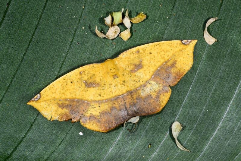 Polilla, ansorgei del epigynopteryx, ranomafana imagen de archivo libre de regalías