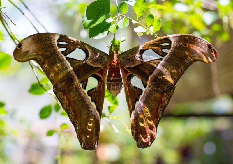 Polilla de atlas de la mariposa imágenes de archivo libres de regalías