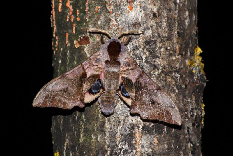 Polilla de halcón de la noche (ocellatus de Smerinthus) fotos de archivo