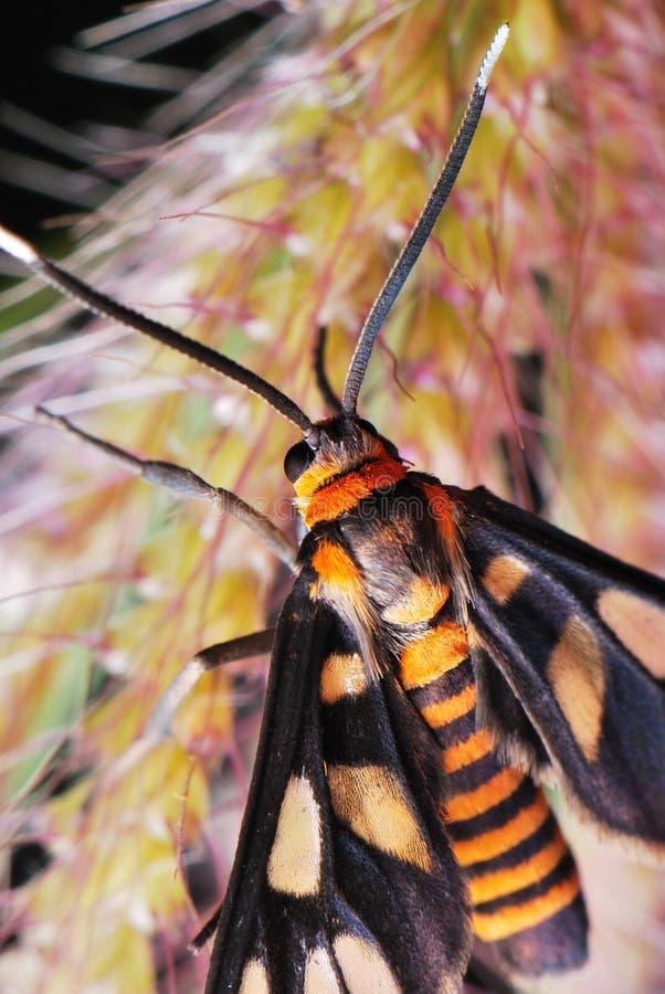 Polilla de tigre imagen de archivo libre de regalías