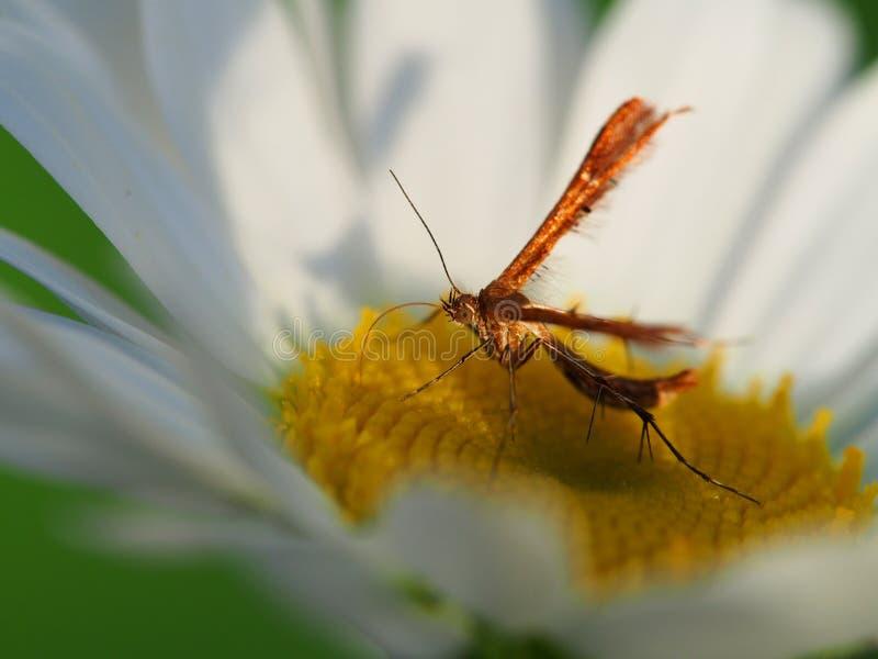 Polilla del penacho en la flor blanca foto de archivo libre de regalías