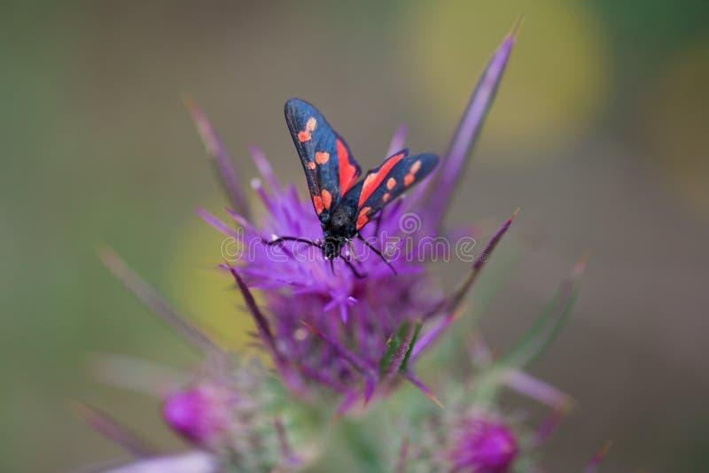 Polilla en la flor en la naturaleza fotografía de archivo libre de regalías