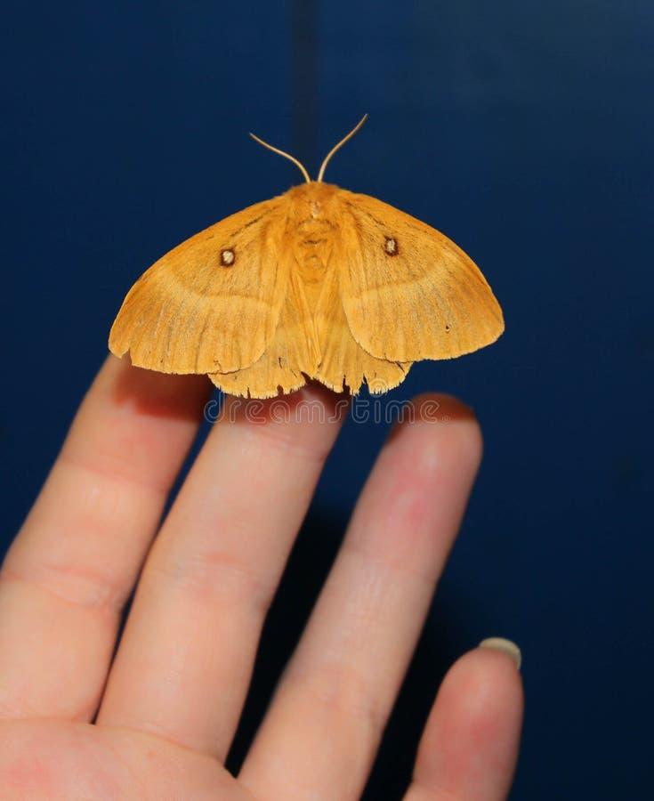 Polilla a mano, mariposa hermosa de la noche en una mano femenina en un fondo azul fotografía de archivo libre de regalías