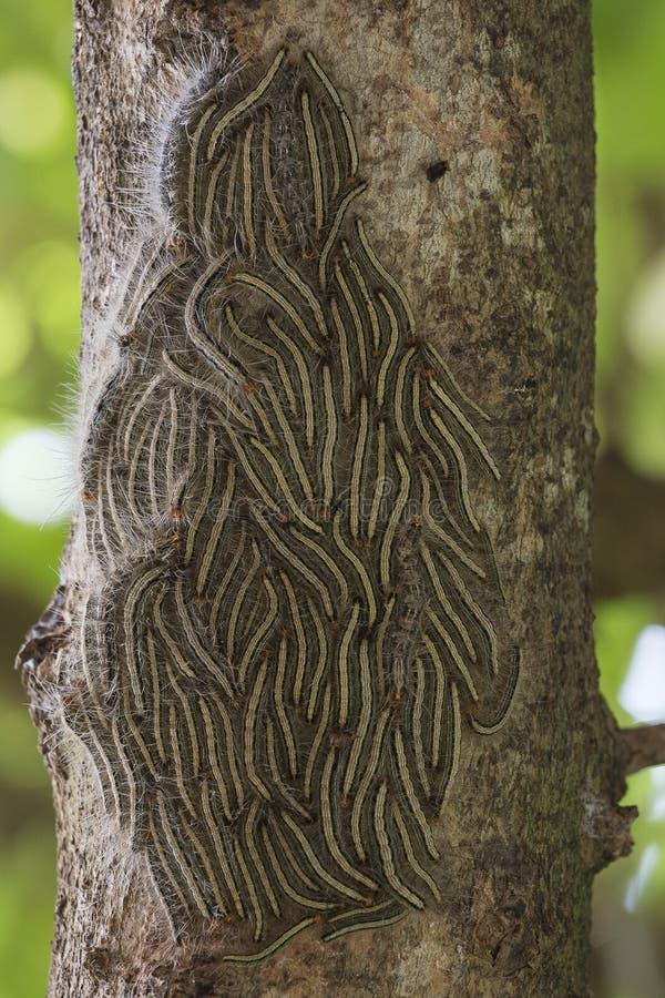 Polilla procesional del roble - orugas del processionea de Thaumetopoea en el árbol en verano imágenes de archivo libres de regalías