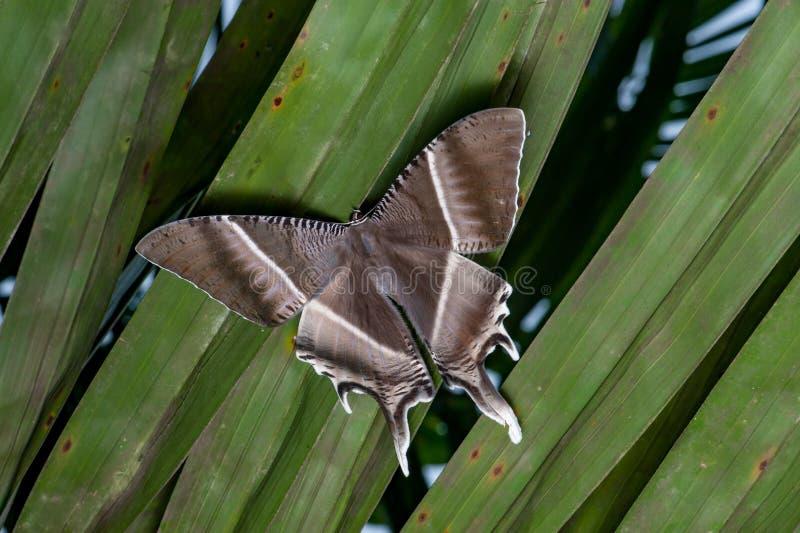 Polilla tropical de Swallowtail foto de archivo