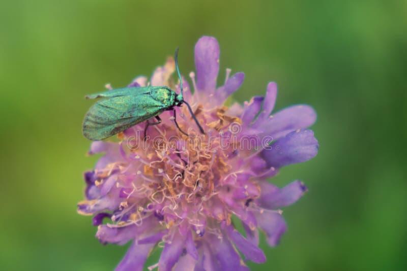 Polilla verde del silvicultor en la flor de la lila fotos de archivo libres de regalías