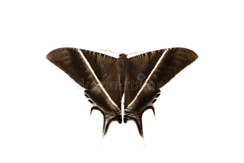 Polillas, mariposa imagen de archivo