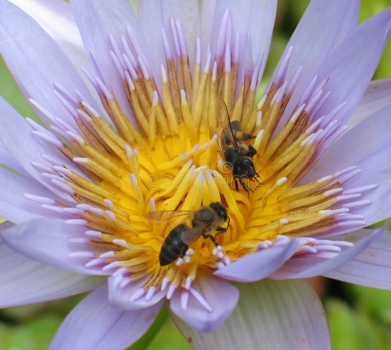 Download Polinização foto de stock. Imagem de zumbido, flor, pollination - 63416
