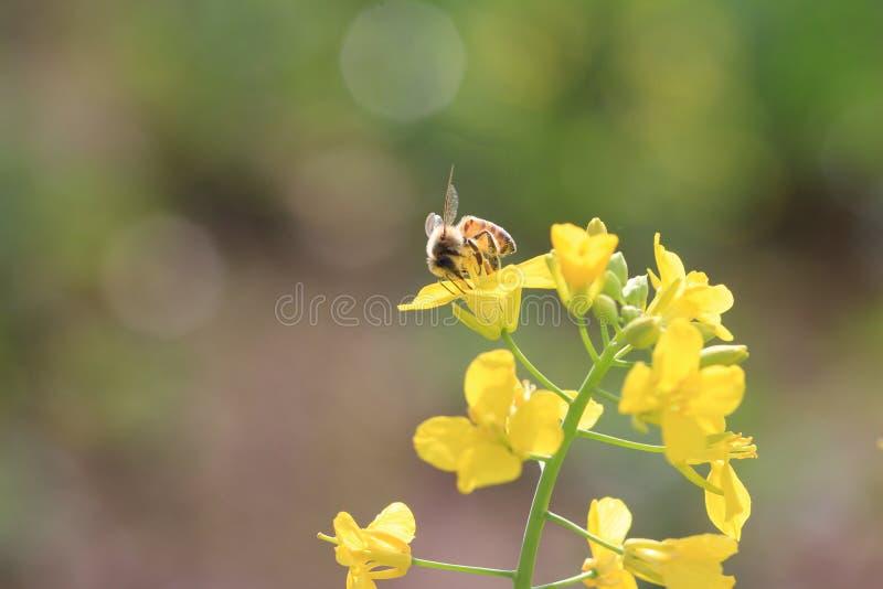 Polinização da abelha fotos de stock royalty free