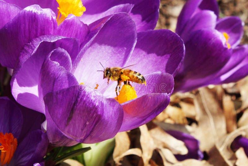 Polinização das abelhas do mel no close up da flor da mola do açafrão fotos de stock royalty free