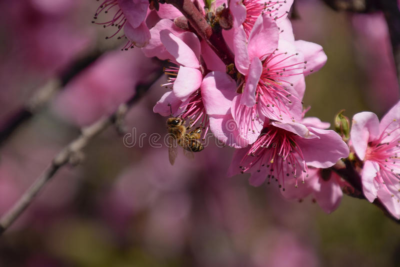 Polinização das flores pelo pêssego das abelhas imagem de stock
