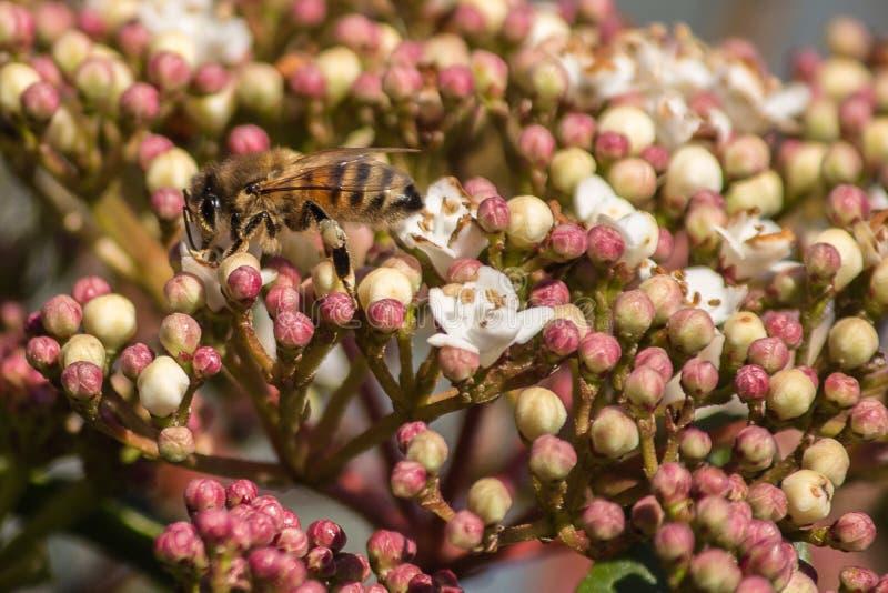 Polinização, o grande trabalho das abelhas, elas visitam as flores coletando o néctar coletando o pólen no chão fotos de stock royalty free