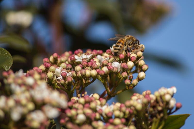 Polinização, o grande trabalho das abelhas, elas visitam as flores coletando o néctar coletando o pólen no chão fotografia de stock