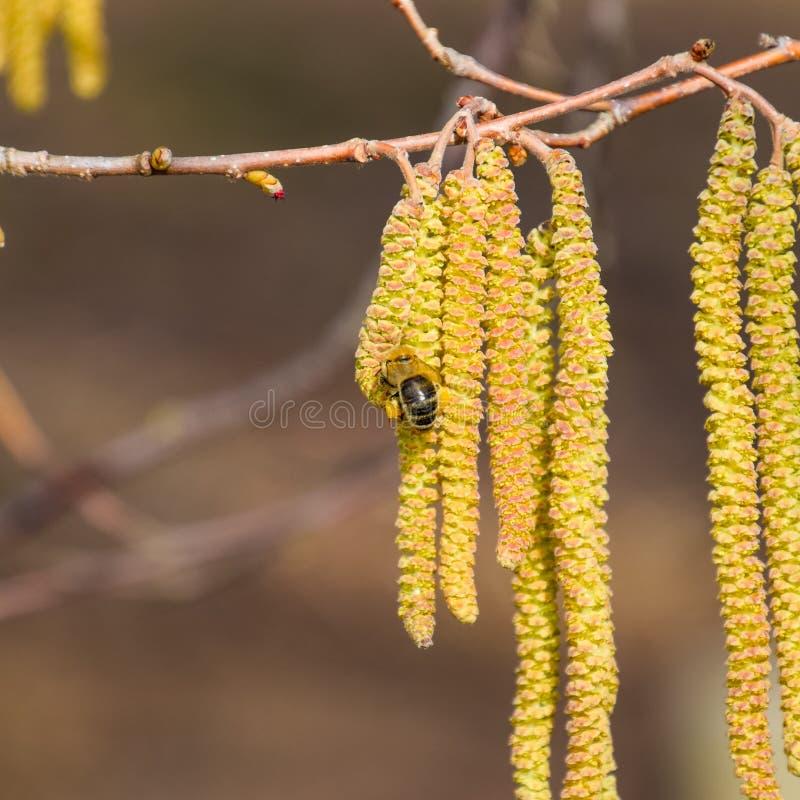 Polinização pela avelã dos brincos das abelhas Avelã côr de avelã de florescência foto de stock
