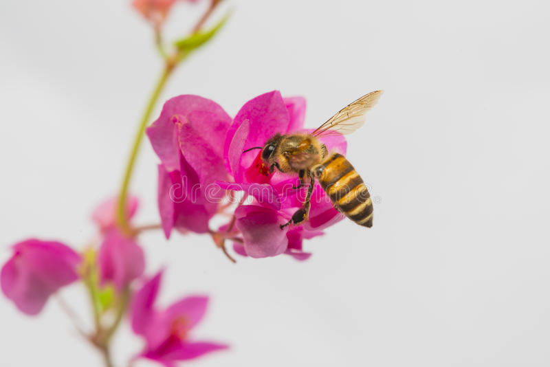 Download Polinización de la abeja imagen de archivo. Imagen de flor - 42433337