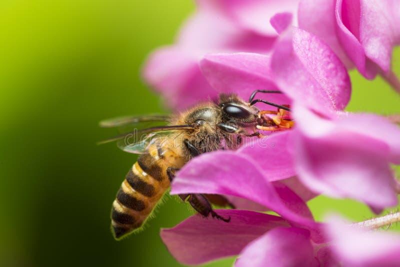 Download Polinización de la abeja imagen de archivo. Imagen de pink - 42433429