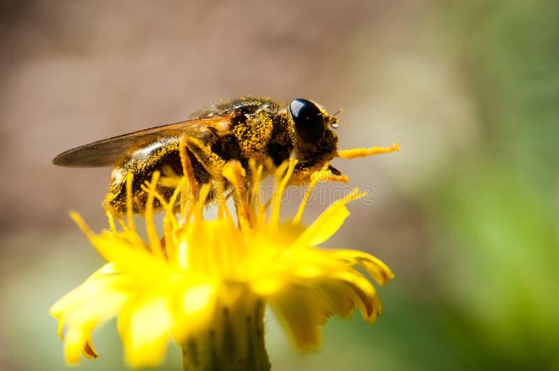 Polinización de la abeja imágenes de archivo libres de regalías