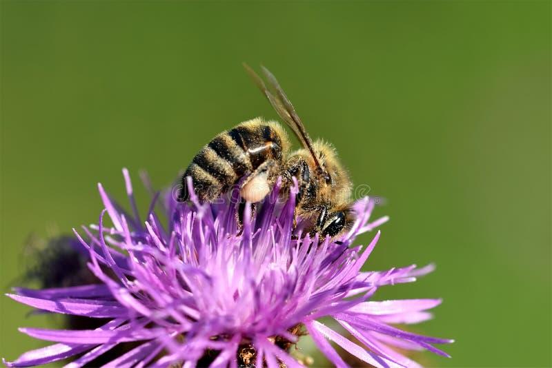 Polinización de la abeja de una flor imagen de archivo libre de regalías