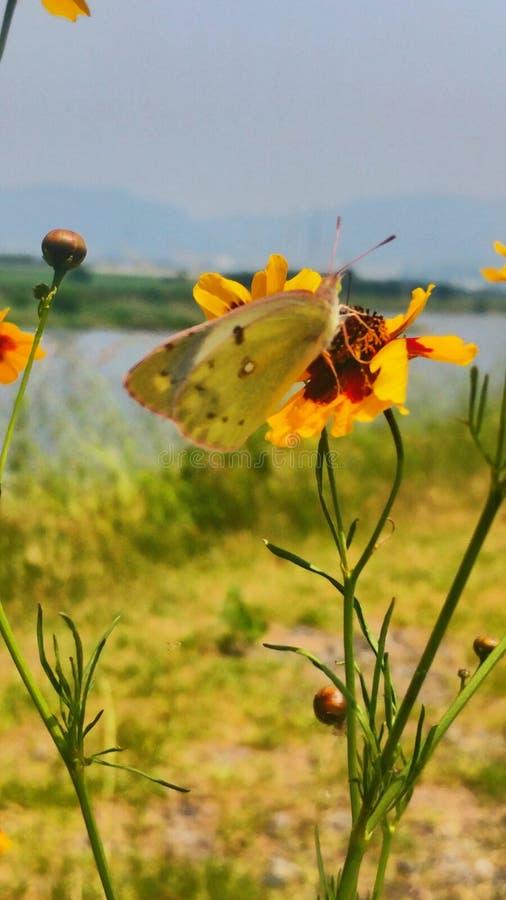 Polinización de la mariposa foto de archivo