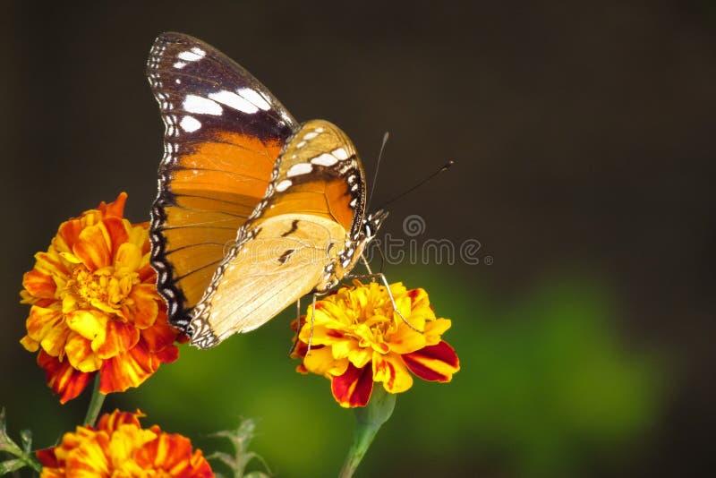 Polinización de la mariposa imagen de archivo