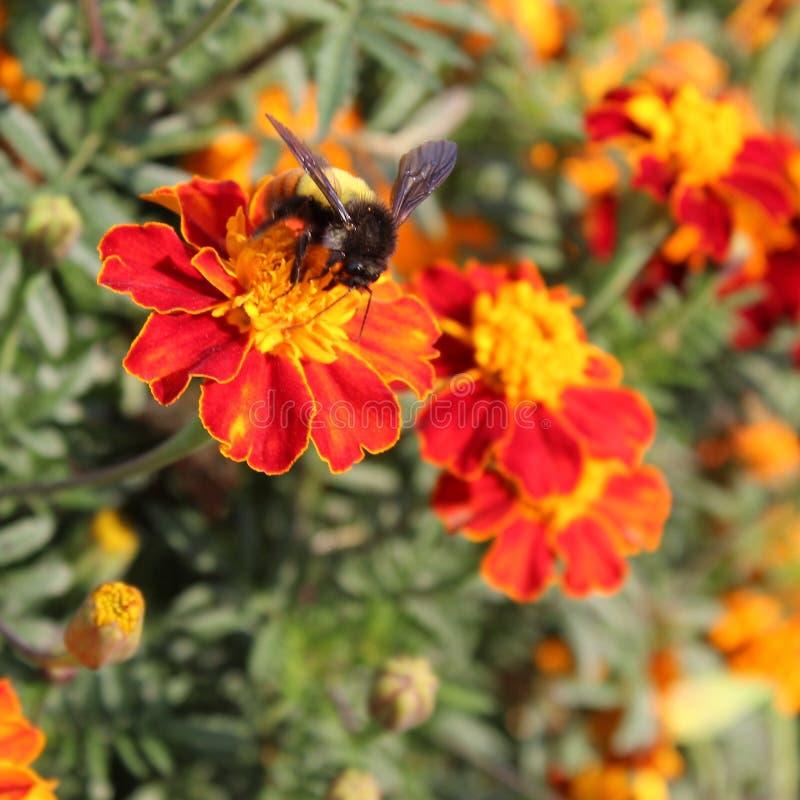Polinización del insecto fotografía de archivo