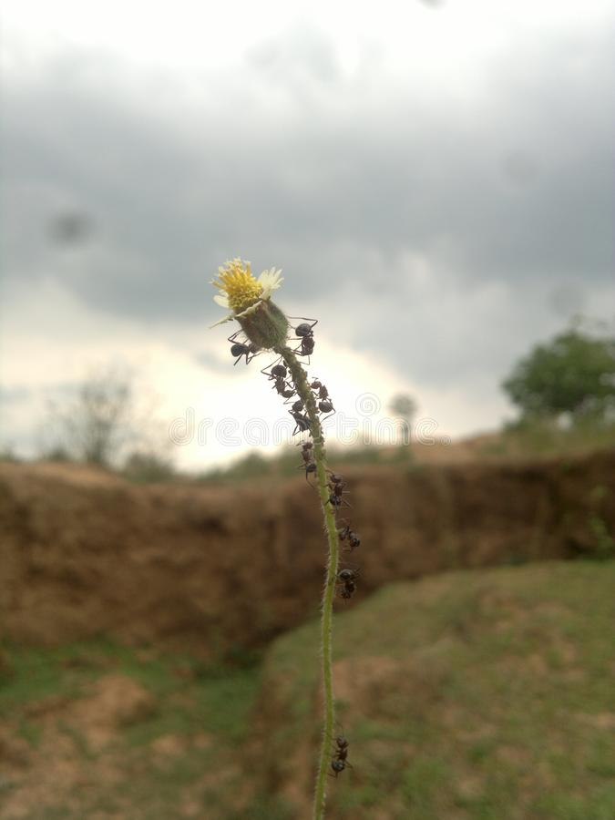 Polinización por las hormigas fotos de archivo