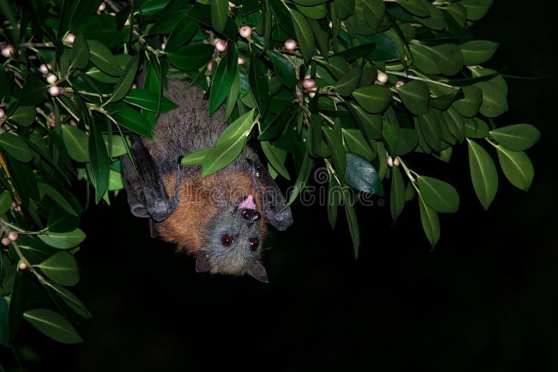 Poliocephalus del Pteropus - Fox de vuelo Gris-dirigido en la noche, mosca lejos del sitio del día imagen de archivo