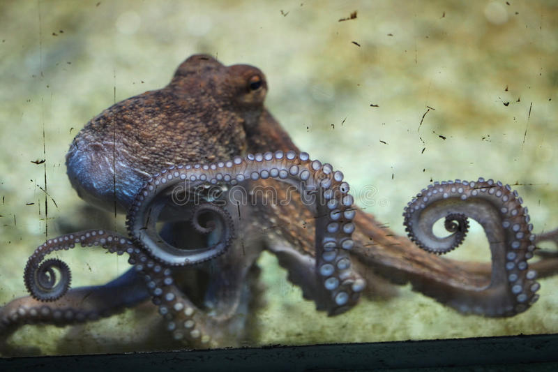 Polipo comune (octopus vulgaris) fotografia stock