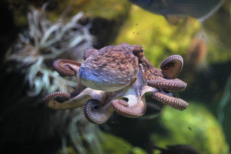 Polipo comune (octopus vulgaris) immagine stock libera da diritti