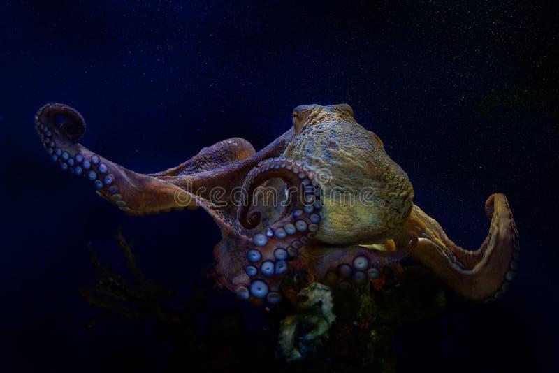 Polipo comune - octopus vulgaris sotto l'acqua fotografia stock