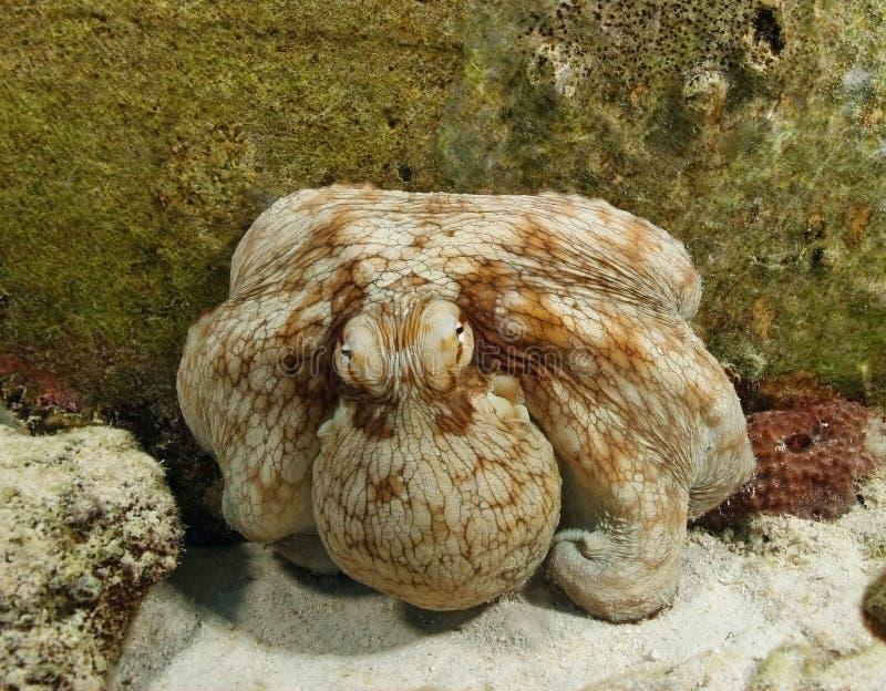 Polipo comune (polipo vulgaris) - Bonaire fotografia stock libera da diritti