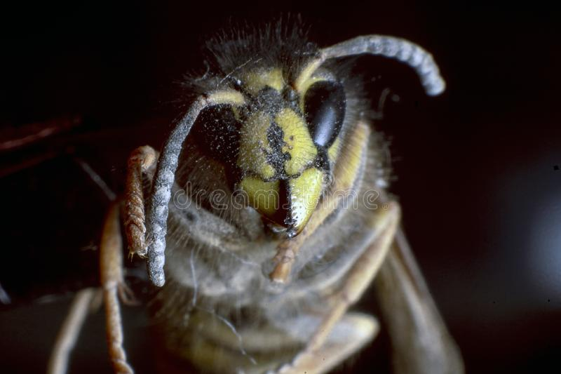 Polish Home Fly. Zoom magnification. Black background. Big eyes stock images