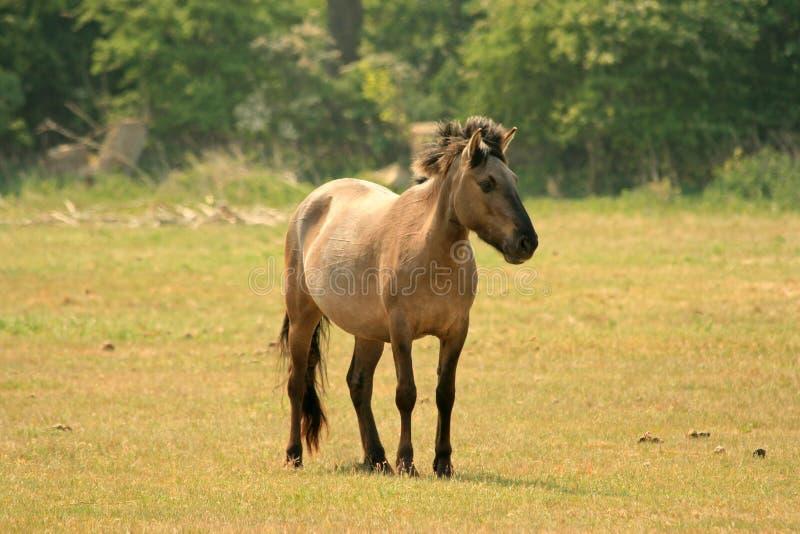 Download Polish Konik horse stock image. Image of stallion, farm - 5346033