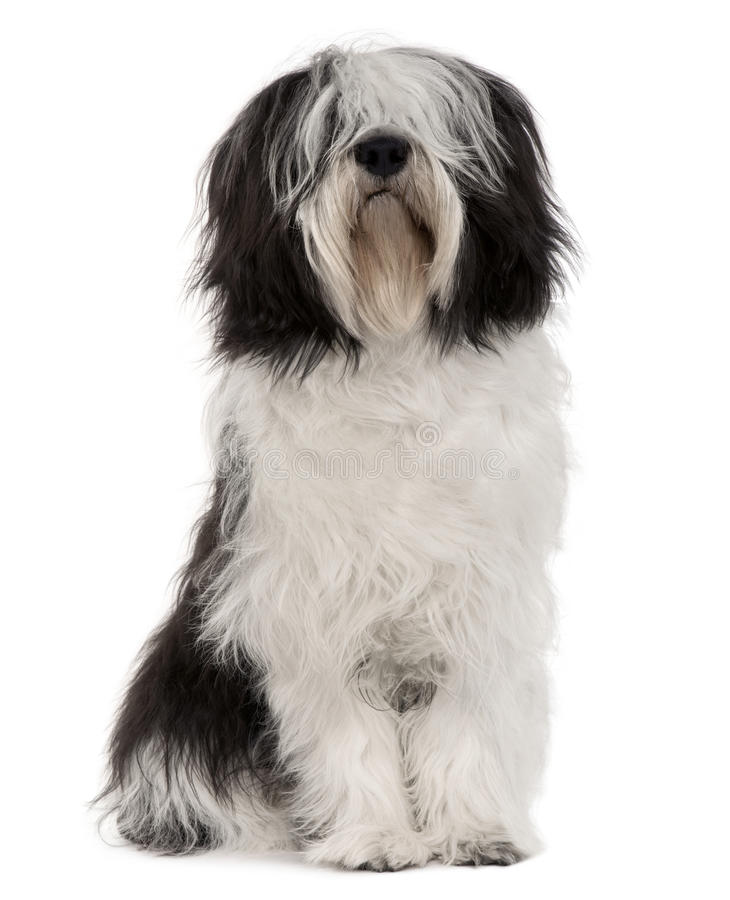 Free Polish Lowland Sheepdog, Sitting Stock Image - 12910521