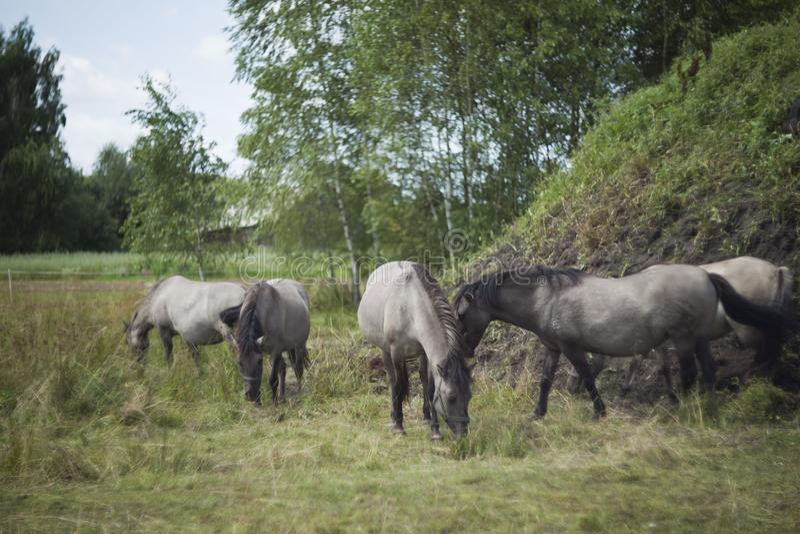 Polish primitive horses on the meadow. Polish primitive horses-Konik- on the meadow stock photo