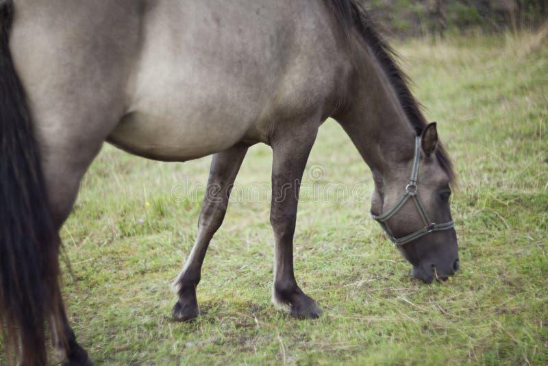 Polish primitive horses on the meadow. Polish primitive horses-Konik- on the meadow stock photography