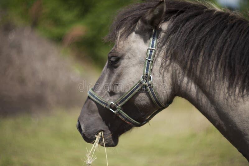 Polish primitive horses on the meadow. Polish primitive horses-Konik- on the meadow royalty free stock photo