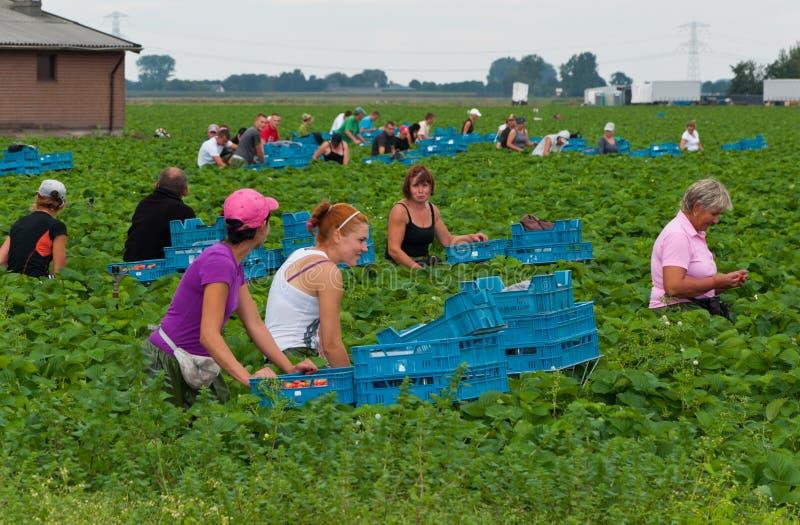 Polish seasonal workers picking strawberries royalty free stock images