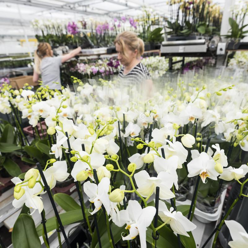 Polish workers in dutch greenhouse full of orchids stock image