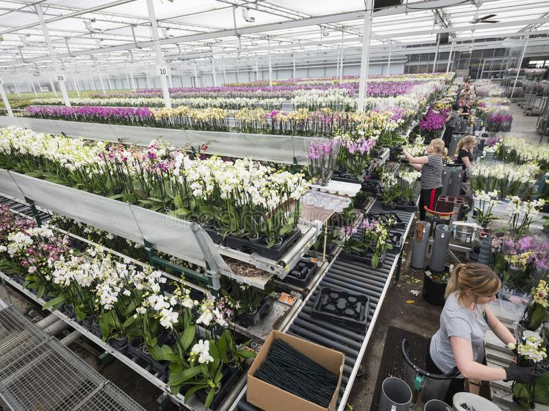 Polish workers in dutch greenhouse full of orchids. Nieuwaal, netherlands, 25 february 2019: polish people work in dutch greenhouse full of orchids royalty free stock images