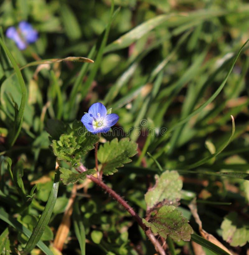 Polita de Veronica dans le jardin organique Est le plus grand genre dans le Plantaginaceae de famille d'usine fleurissante Noms c photo libre de droits