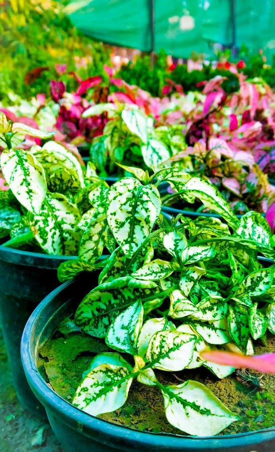 Polka Dot Plant royalty-vrije stock afbeeldingen