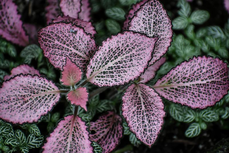 Polka Dot Plant - Groene en Roze Geschakeerde Bladeren stock foto
