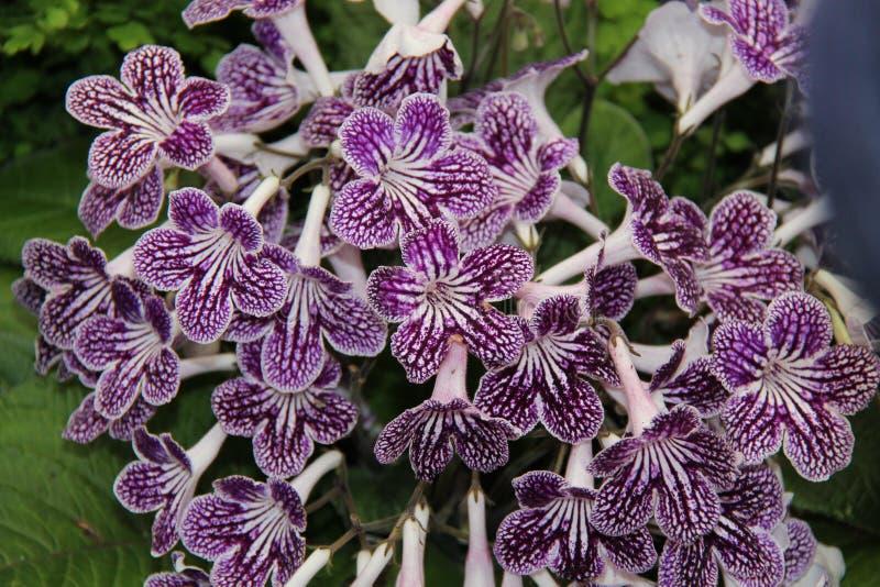 Polka Dot Streptocarpus photo stock