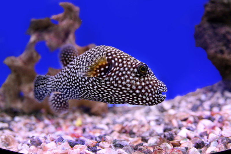 Polkadot fish royalty free stock photo
