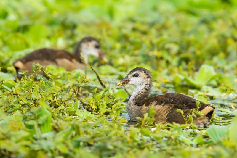 Polla de agua del campo común de los jóvenes fotos de archivo