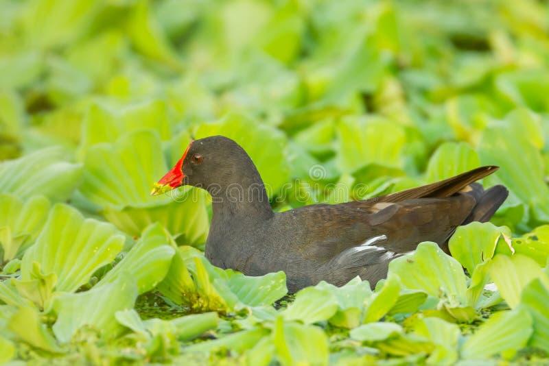 Polla de agua del campo común del adulto fotografía de archivo