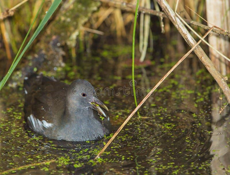 Polla de agua en el pantano imagenes de archivo