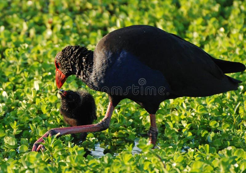 Polla de agua mandada la cuenta roja de la fúlica que introduce su polluelo del bebé foto de archivo libre de regalías